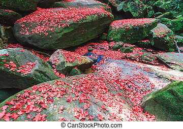 czerwony klonowy liść, podczas, upadek