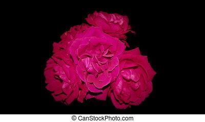 czerwony, konający, róże