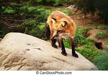 czerwony lis