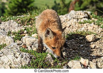 czerwony lis, szczeniak