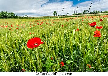 czerwony, maki, na, zielone pole, w, lato