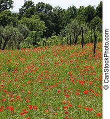 czerwony, maki, na, zielone pole