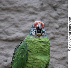 Czerwony-ogoniasty, amazonka,  -,  brasiliensis,  amazona