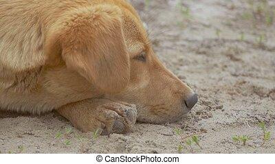 czerwony pies, kaganiec, closeup, od, powolny ruch, video