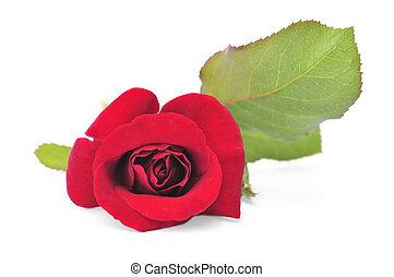 czerwony podniosłem się, kwiat, na białym, tło