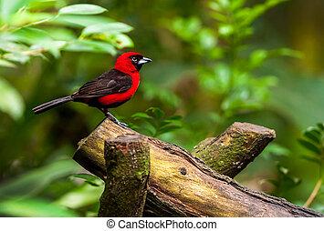 czerwony ptaszek, posiedzenie, na gałęzi, dziewiczość