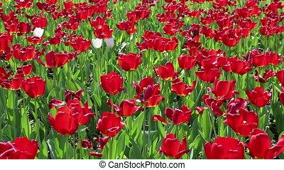 czerwony, tulipany