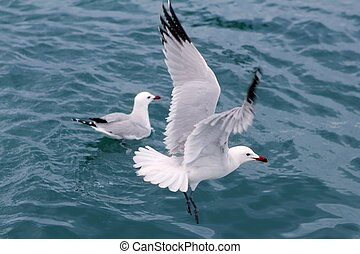 czynny, morskie frajery, seagulls, na, błękitny, morze,...