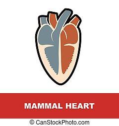 däggdjur, hjärta, anatomi