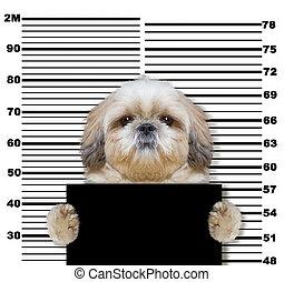 dålig, shitzu, hund, hos, den, polis, station., foto, vita