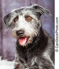 débraillé, hybride, chien, gris, closeup, heureux