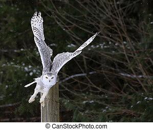 décollage, hibou neigeux
