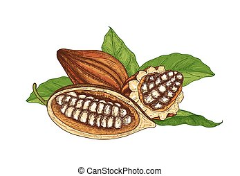décoratif, antiquité, mûre, cacao, élégant, style., coupure, isolé, arrière-plan., dessiné, blanc, coloré, illustration, main, naturel, boîtiers, feuilles, arbre, ou, vecteur, haricots, fruits, entier, dessin