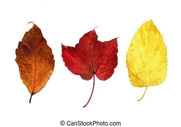 décoratif, automne, feuilles, studio, fond, automne, blanc,...