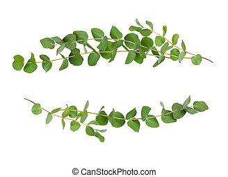 décoratif, eucalyptus, feuilles, vert