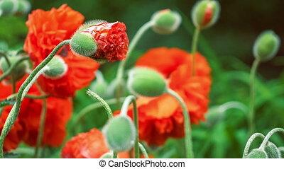 décoratif, fleur, printemps, foyer, haut, jour, pavot rouge, fin, bourgeon
