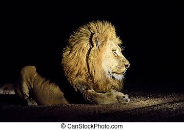 découvert, lion, mâle, safari, nuit