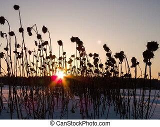 défaillance, tournesols, séché, temps, 4x3, sunset.