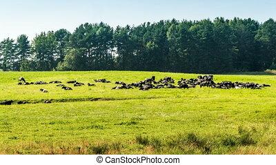 défaillance, troupeau, forêt verte, temps, vaches, herbe