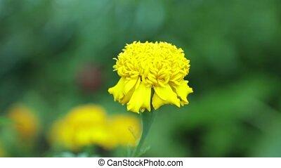 définition, fleur, métrage, jaune, élevé, souci