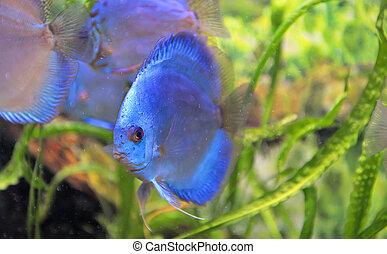 dél-amerikai, diszkosz, fish