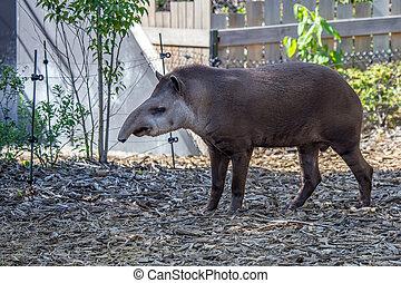 dél-amerikai, tapír, vagy, tapirus, terrestris