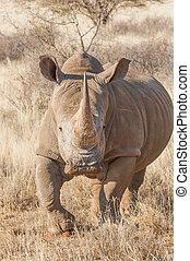 déli, white rhino