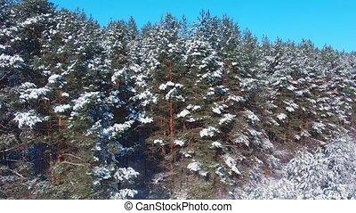 désert, aérien, ceci, snow-dusted, arbres pin, vue, forêt