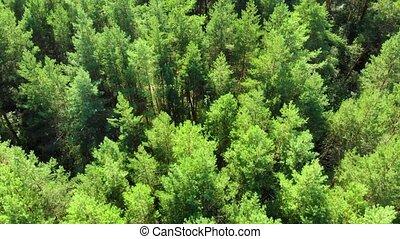 désert, bourdon, grand, arbres, forêt, russe, perspective