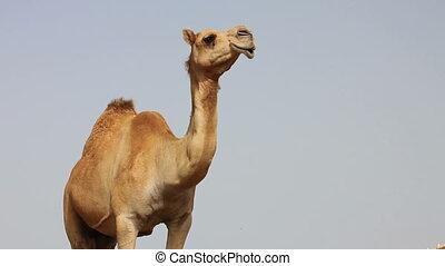 désert, chameau