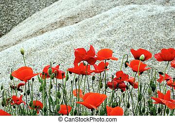 désert, fleurs, 4