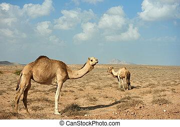 désert, marche, groupe, 3, chameau