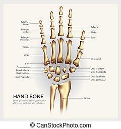 détail, illustration, main, anatomie, vecteur, os