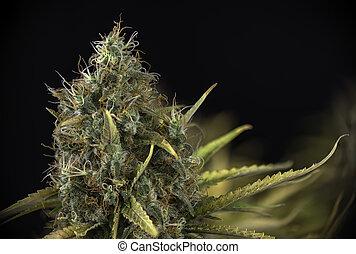 détail, strain), marijuana, (black, tard, cannabis, russe, fleurir, kola, étape