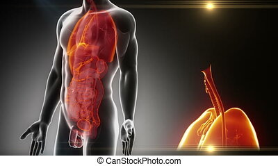 détaillé, -, anatomie, mâle, organes, vue