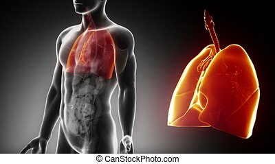 détaillé, -, anatomie, mâle, thorax, vue