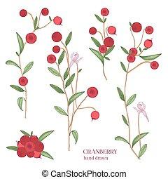 détaillé, branches, coloré, set., main, berries., canneberge, dessiné, illustrations.