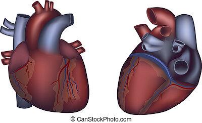 détaillé, coeur, coloré, anatomie, conception, humain