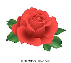 détaillé, fleur, rose, feuilles, illustration, réaliste, unique, vecteur, vert, lustré, rouges, 3d