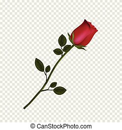 détaillé, fleur, rose, isolé, hautement, arrière-plan., transparent, rouges