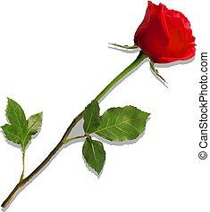 détaillé, fleur, rose, isolé, hautement, blanc rouge