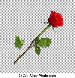 détaillé, fleur, rose, isolé, hautement, transparent, rouges