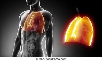 détaillé, poumons, -, anatomie, mâle, vue