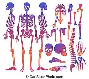détaillé, silhouette, squelette, gradient, set., collection, élevé, couleur, clair, vecteur, humain, os, illustration.