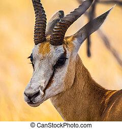 détaillé, springbok, -, vue