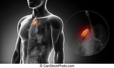 détaillé, -, thymus, anatomie, mâle, vue