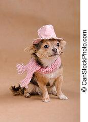 détective, chihuahua, chapeau, chiot, écharpe