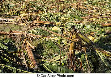 détruit, arbre, banane