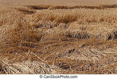 détruit, blé