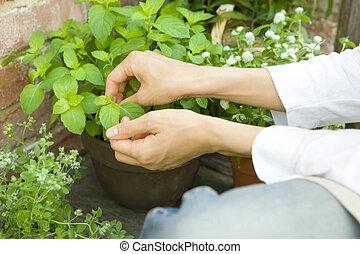 développé, cueillette, femme, menthe, jardin